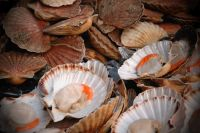 scallops-in-the-shell
